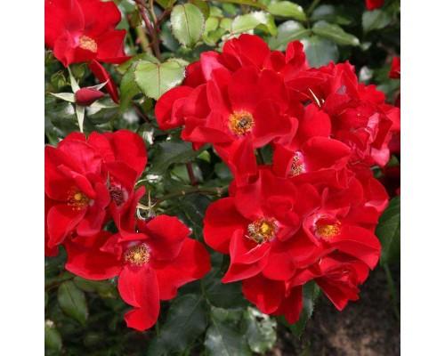 Роза почвопокровная Apache от Kordes (Апачи от Кордес)