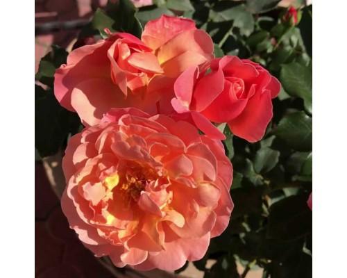 Роза флорибунда Marie Curie (Мари Кюри)