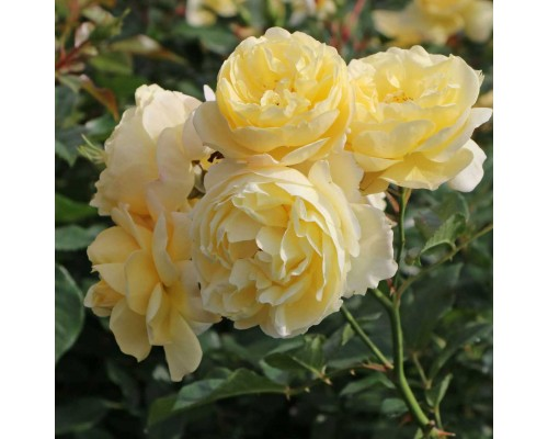 Роза шраб Sonnenschirm (Зонненширм)