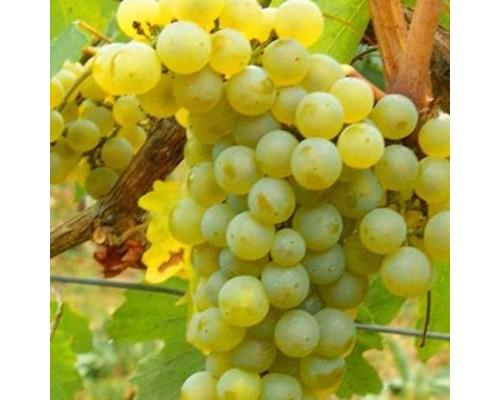 Виноград Шардонэ