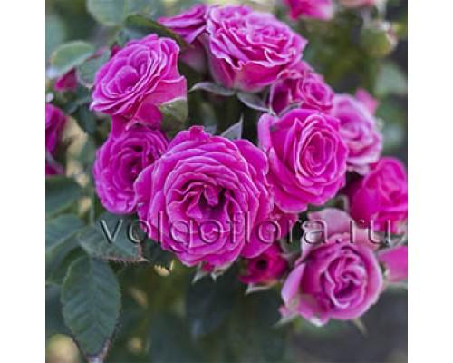 Роза-спрей розовая