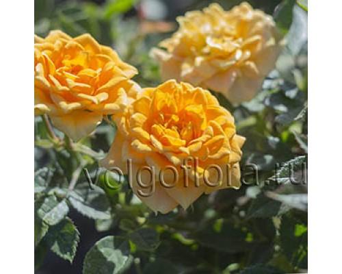 Роза-спрей Сфинкс