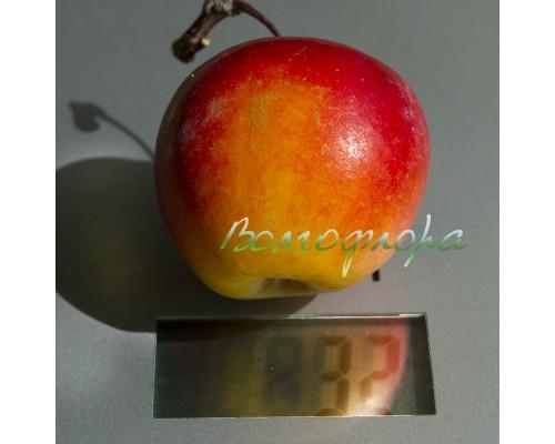 Декоративная краснолистная яблоня (Раечка)